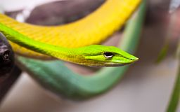 Oxybelis snake. Beautiful close up photo of green Oxybelis snake stock photo