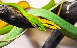 Oxybelis snakes. Beautiful close up photo of Oxybelis snakes stock image