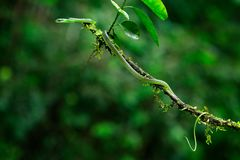 Oxybelisbrevirostris, korkåpa` s kort-nosed vinrankaormen, röd orm i den gröna vegetationen Skogreptil i livsmiljö, på trädet b arkivfoto