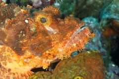 Oxycephala de Scorpaenopsis - aranha-do-mar Imagem de Stock