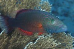 Oxycheilinus digramma -红海 免版税图库摄影