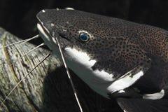Oxydoras black or Blue-eyed catfish Royalty Free Stock Image