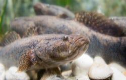 Oxyeleotris marmoratus, goby fish Stock Images