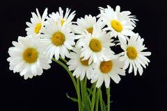 Oxyeye daisy. Macro view of oxeye daisy flower in bloom with black background stock photo
