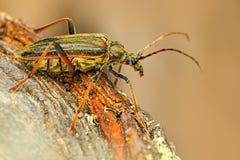 Oxymirus游标甲虫在自然绿色森林栖所,坐棕色落叶松属,捷克共和国,长角牛甲虫 美丽 库存图片