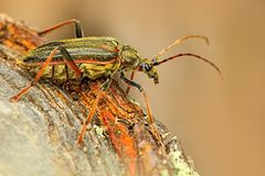 Oxymirus cursor beetle  in the nature green forest habitat, sitting on the brown larch, Czech republic, longhorn beetle. Beautiful Stock Image