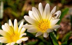 Oxyopidae在澳大利亚雏菊花的天猫座蜘蛛 库存照片