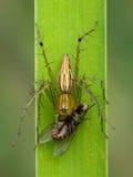 去oxyopidae蜘蛛的图象吃在绿色叶子的飞行 库存照片