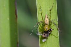去oxyopidae蜘蛛的图象吃在绿色叶子的飞行 库存图片