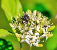 Oxythyrea funesta  in a meadow royalty free stock photography