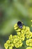 Oxythyrea funesta  in a meadow Stock Photography