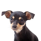 Oy terrier looking at camera Stock Images