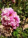 Oya blossom. Pink Oya blossom stock image