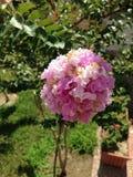 Oya blossom Royalty Free Stock Image