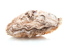 Oyster. Closed oyster as animal body isolated over white Royalty Free Stock Images