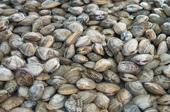 Free Oyster Stock Photos - 25947023