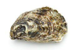 Oyster. On the white background Stock Image