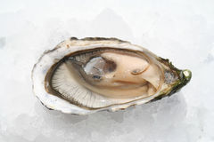 Oyster. Fresh Oyster Stock Photo