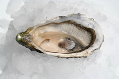 Oyster. Fresh Oyster Royalty Free Stock Photos