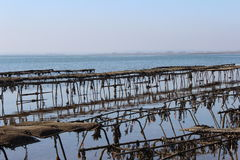 Oyster beds. Some oyster beds at the coast in England Stock Photos