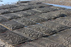Oyster Beds Royalty Free Stock Image