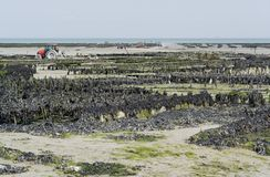 Oyster beds at Cancale Royalty Free Stock Photo