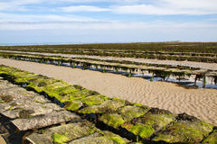 Oyster beds offshore Jersey, UK, at low tide royalty free stock image