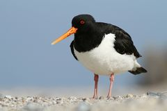 Oyster-catcher Stock Images