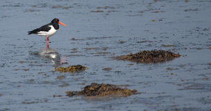 Oyster Catcher Royalty Free Stock Photography