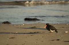 Oyster Catcher on Beach Stock Images