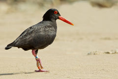 Oyster catcher on the beach Stock Photography