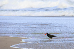 Oyster Catcher Bird Royalty Free Stock Photos