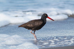Oyster Catcher bird on the beach with sea foam Stock Photography