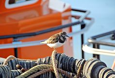 turnstone bird in fishing harbour Stock Photo