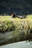 Oyster catcher bird new zealand Stock Image