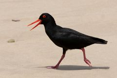 Oyster Catcher Bird Running Royalty Free Stock Photos