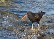 Oyster catcher bird standing on waves. Beautiful bird standing in clear water with waves breaking Stock Image