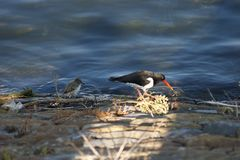 Oyster Catcher and chick with sun in Cardiff Bay royalty free stock photography