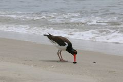 Oyster Catcher eating Stock Photography
