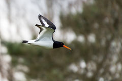Oyster Catcher in flight Stock Photography