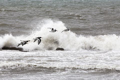 Oyster Catcher Flock over Galway Bay Royalty Free Stock Photography