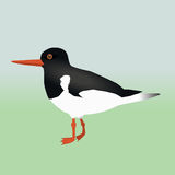 An oyster catcher. An illustration of an oyster catcher Royalty Free Stock Image