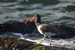 Oyster catcher looking for dinner Royalty Free Stock Photos