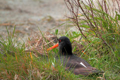 Oyster-catcher on nest Royalty Free Stock Images