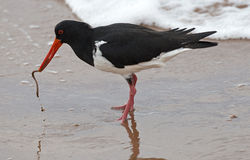 oyster catcher Stock Photography