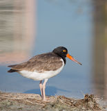 Oyster catcher at pond Stock Image