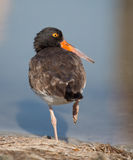 Oyster Catcher at pond Royalty Free Stock Image