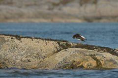 Oyster Catcher Preening Stock Photography