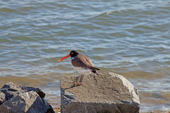 Oyster catcher on rock Royalty Free Stock Images