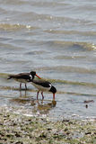 Oyster Catcher searching in the sea Stock Images